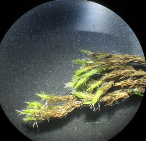 Grimmia trichophylla