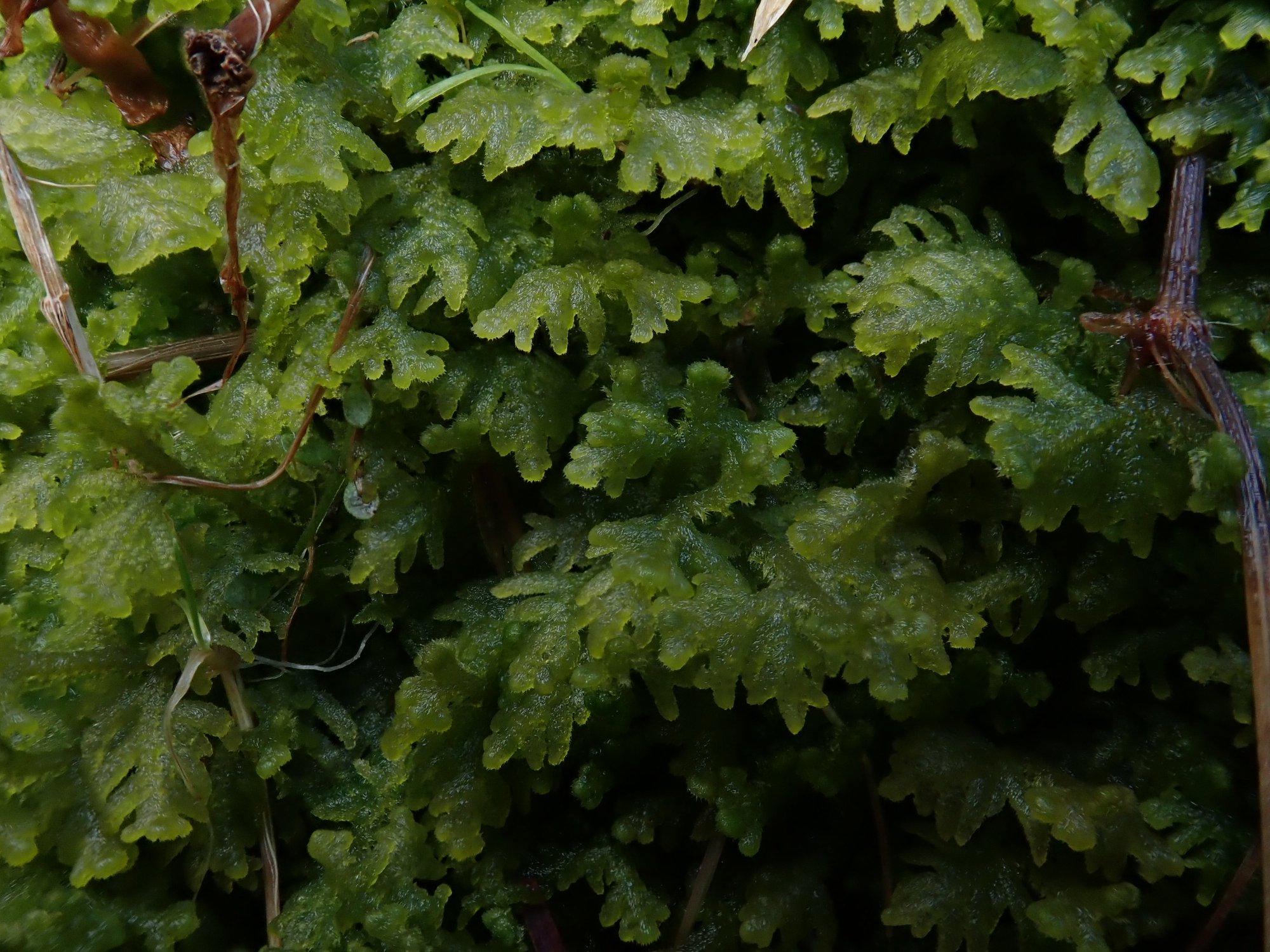 Handsome Woolywort (Trichocolea tomentella)