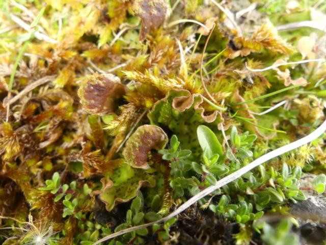 Fertile Peltigera leucophlebia