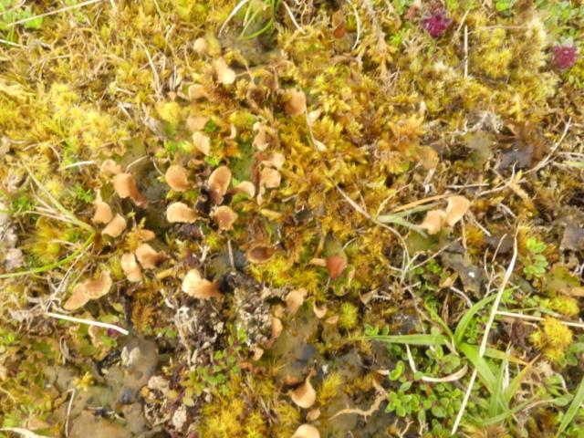 A patch of fertile Peltigera leucophlebia