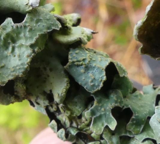 Parmelia sulcata with pycnidia or lichenocolous fungi