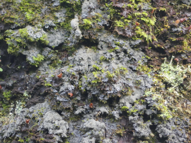 Pannaria conoplea