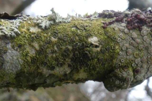 Rinodina sophodes (centre)