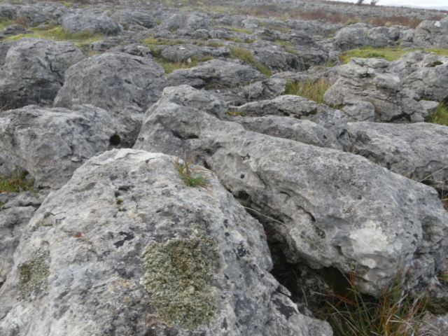 Squamarina cartilaginea on Knipe Scar limestone pavement