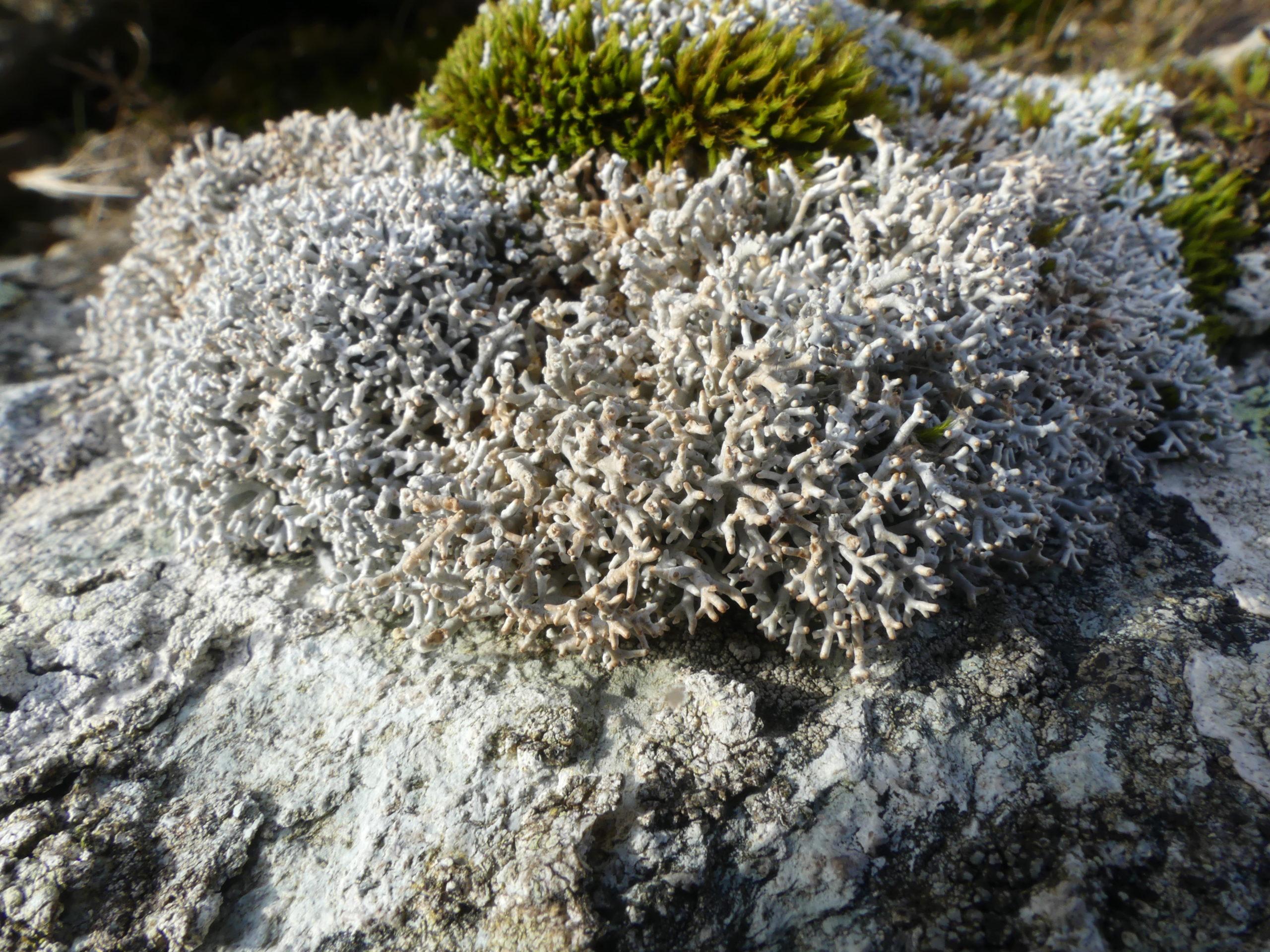 Sphaerophorus fragilis