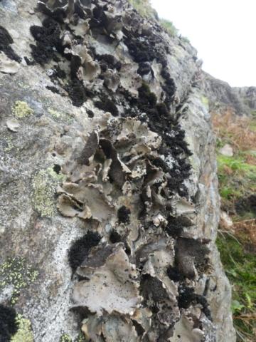 Umbilicaria crustulosa