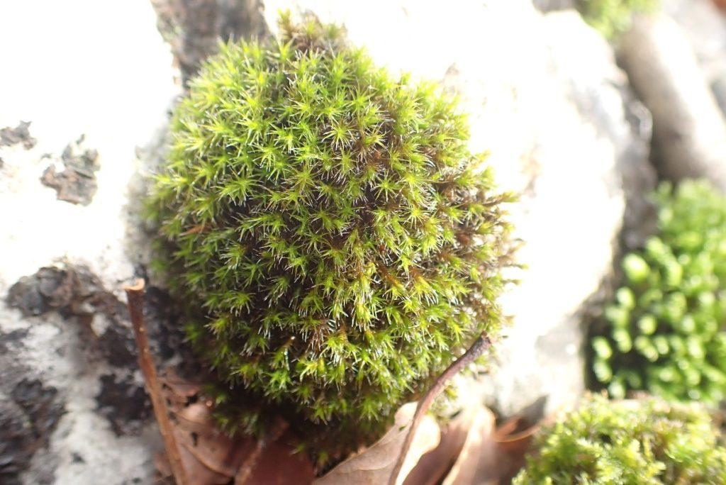 Schistidium crassipulum