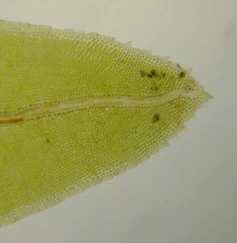 Fissidens dubius leaf under microscope