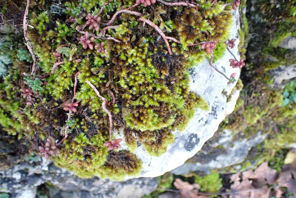 Homalothecium sericeum