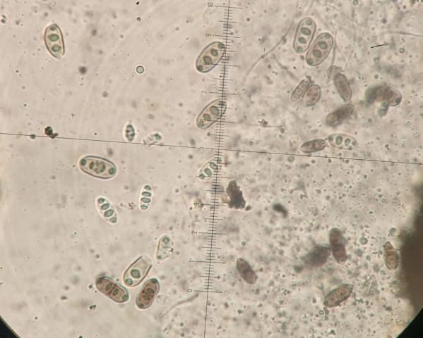 Acrocordia gemmata 20x8μm K