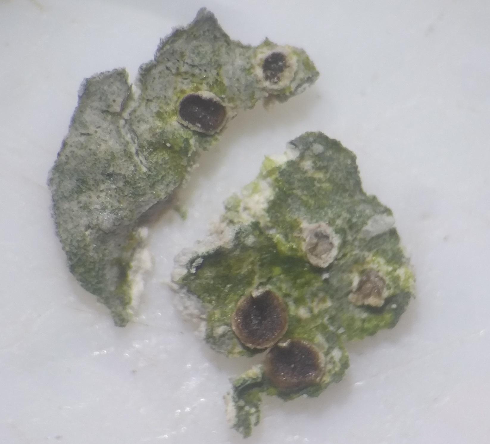 Trapelia coarctata Sax