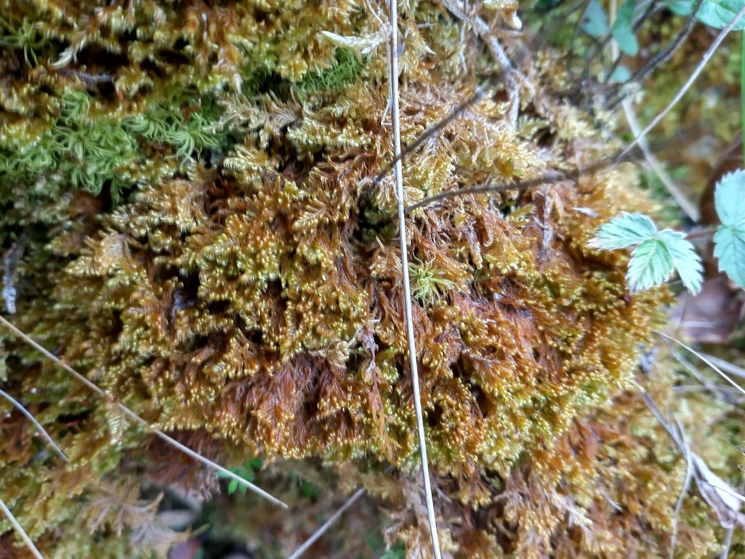 Ctenidium molluscum and Tortella tortuosa