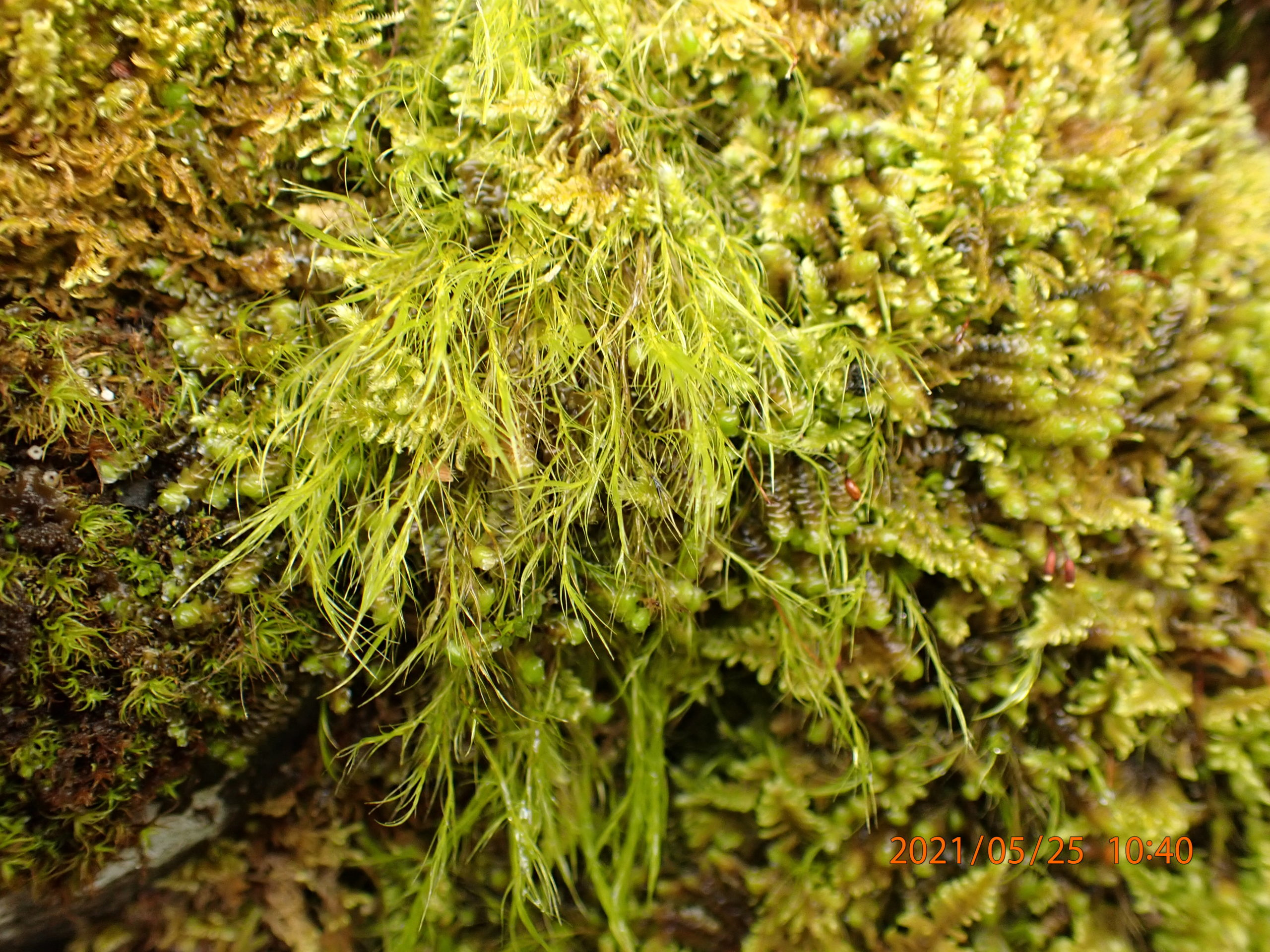Bryophytes on a stone wall: Flexitrichum gracile (formerly Ditrichum), Scapania aspera, Ctenidium molluscumand Tortella tortuosa.