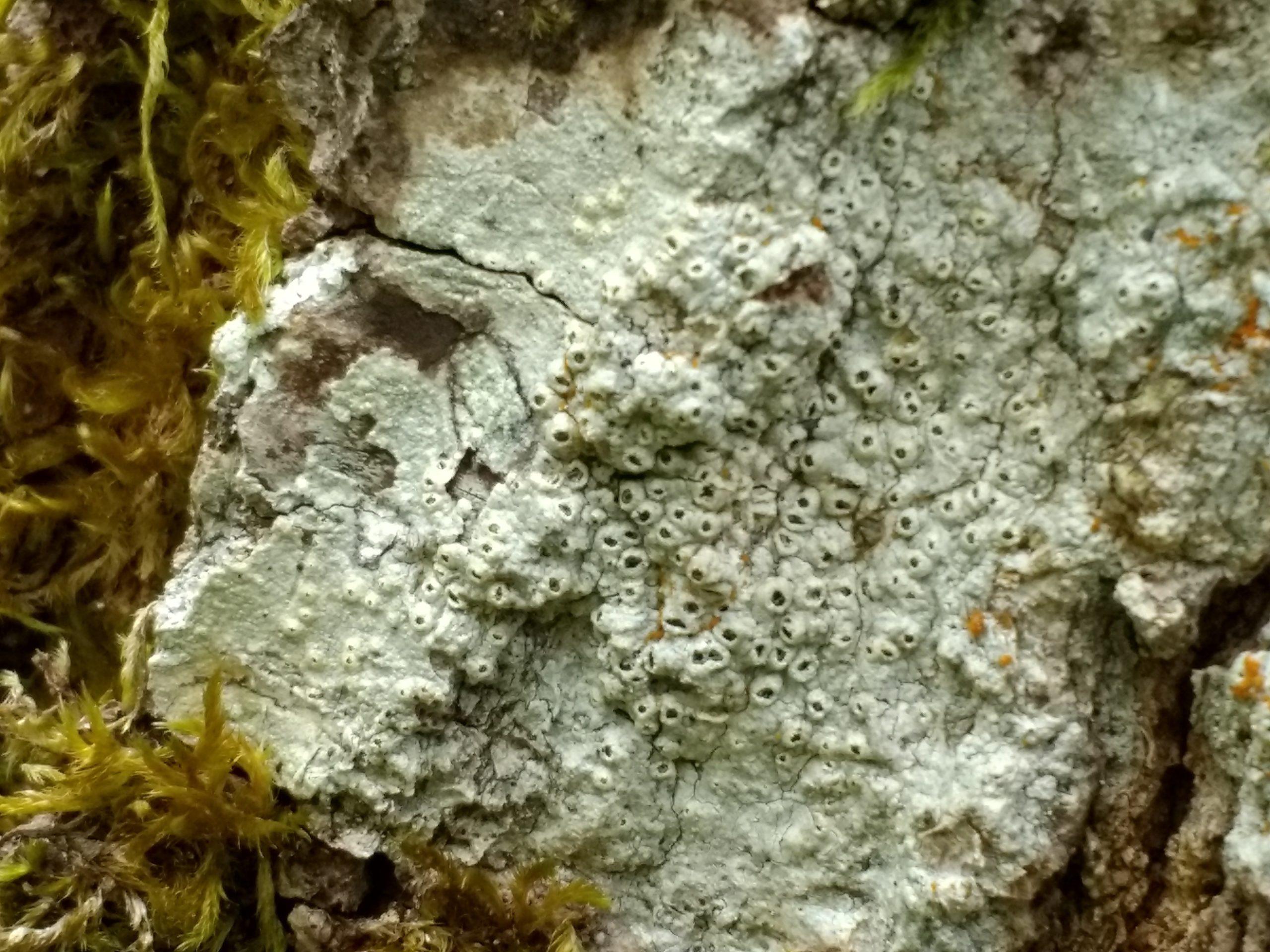 Thelotrema lepadinum