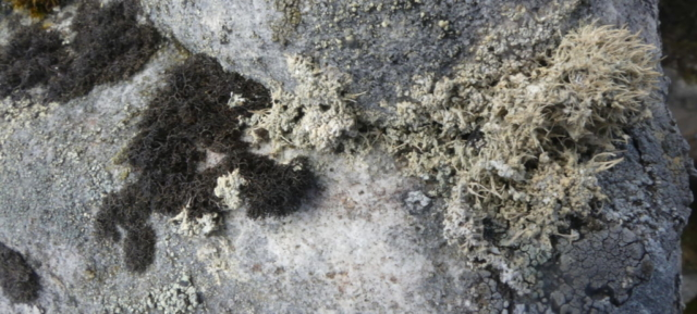 Pseudephebe pubescens and Ochrolechia frigida