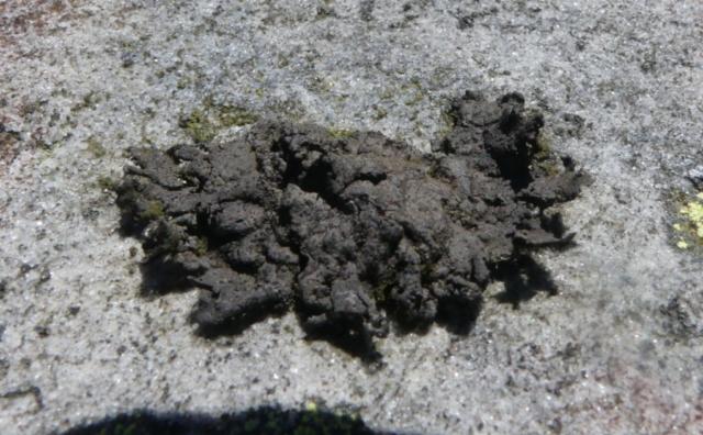 Umbilicaria torrefacta