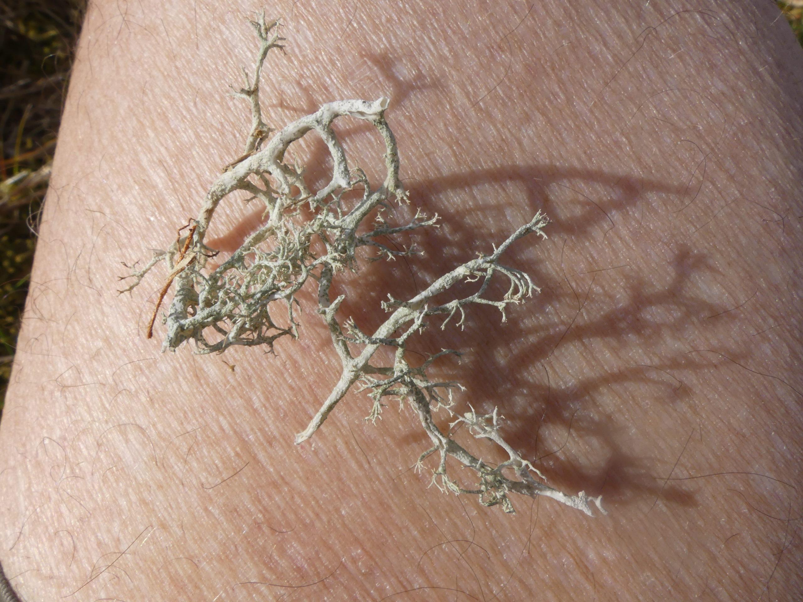 Cladonia ciliata