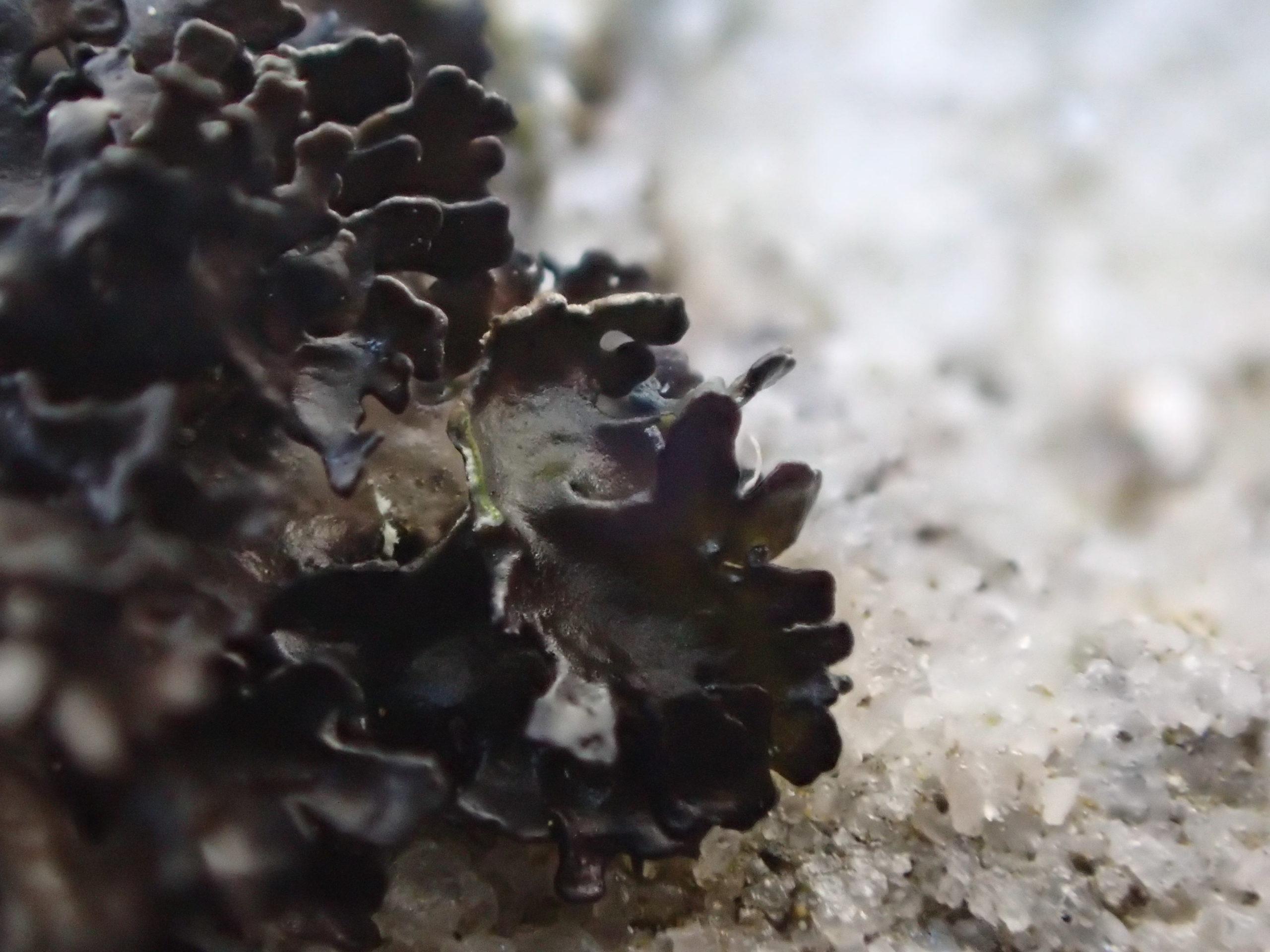 Cetrariella commixta with medulla K-