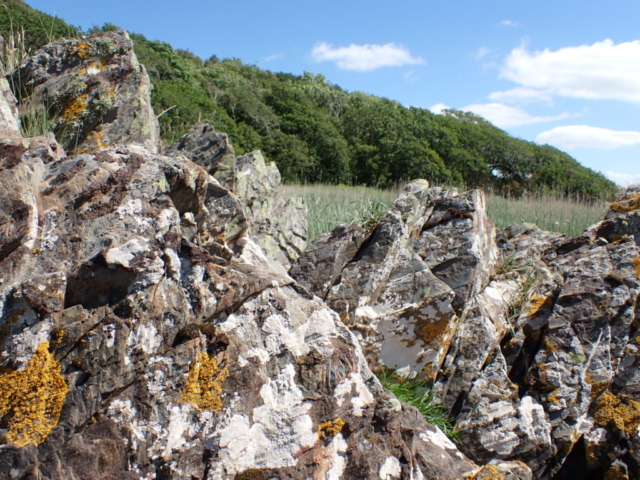 Lichens on siliceous rocks at Roudsea