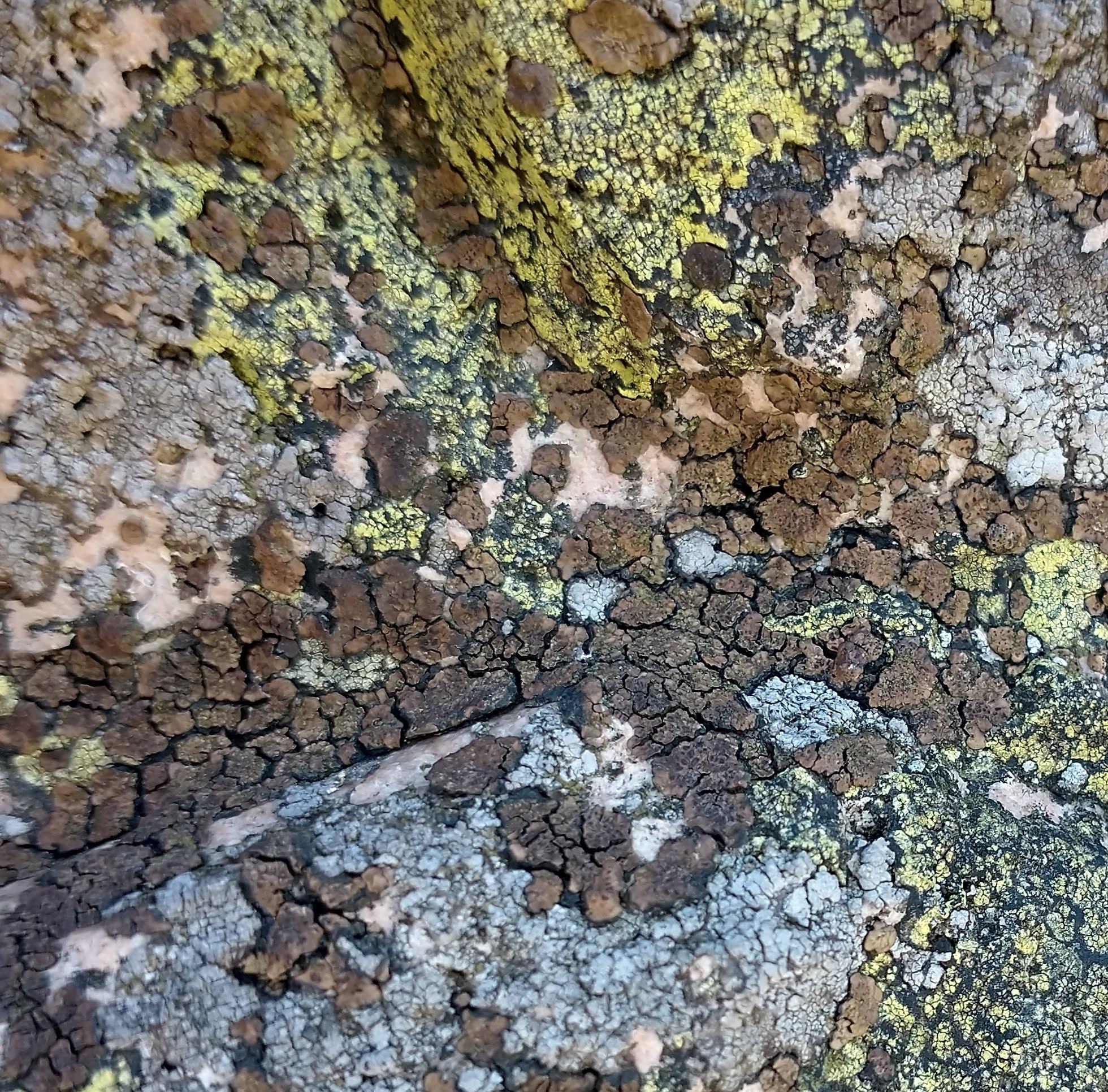Acarospora fuscata