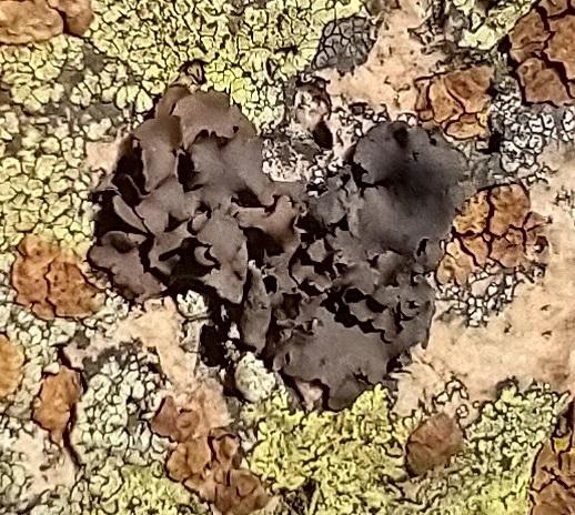 Umbilicaria polyphylla