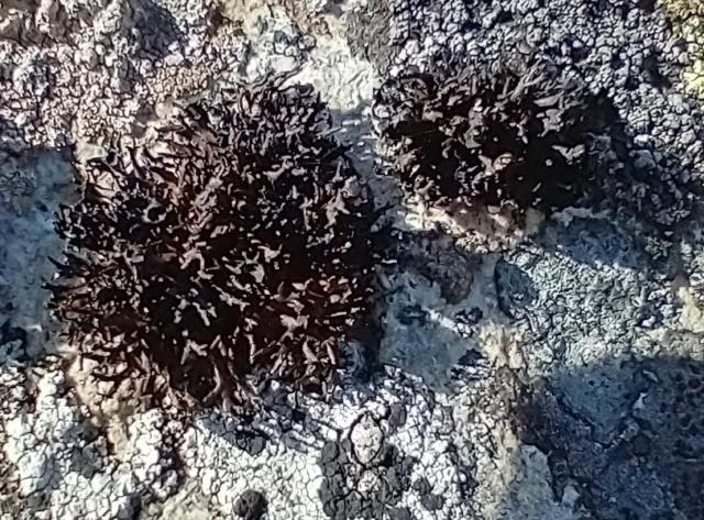 Cornicularia normoerica