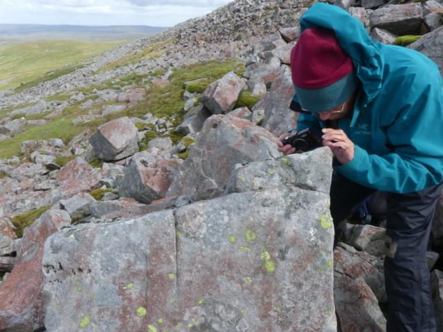 Umbilicaria hyperborea location in boulder scree