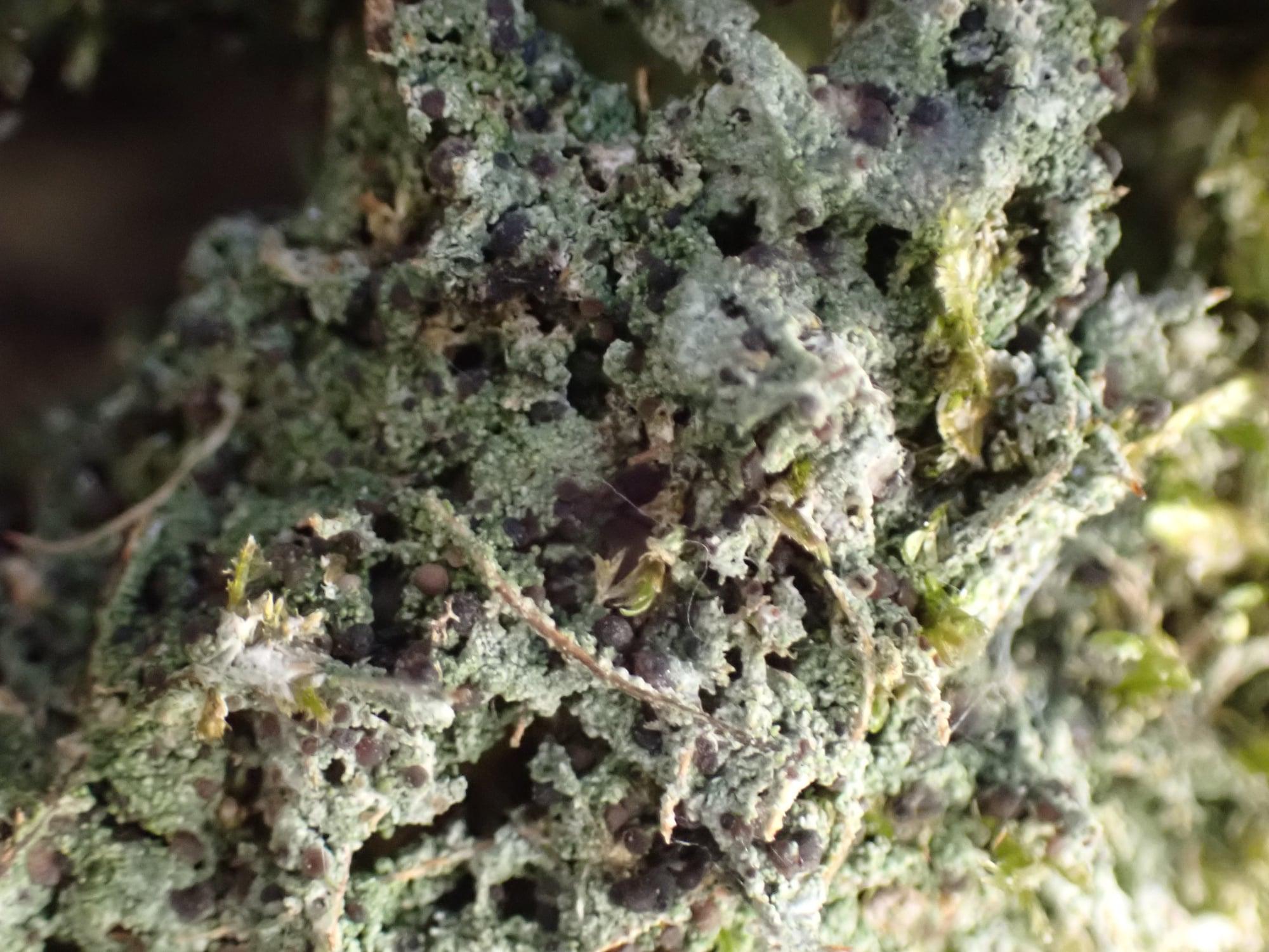 Bilimbia sabuletorum