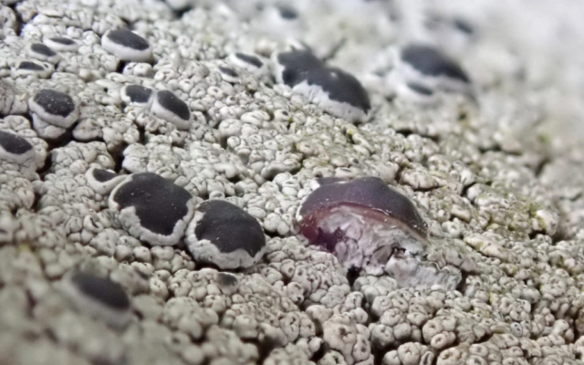 Lecanora gangaleoides, with apothecium showing a pale layer beneath the dark top